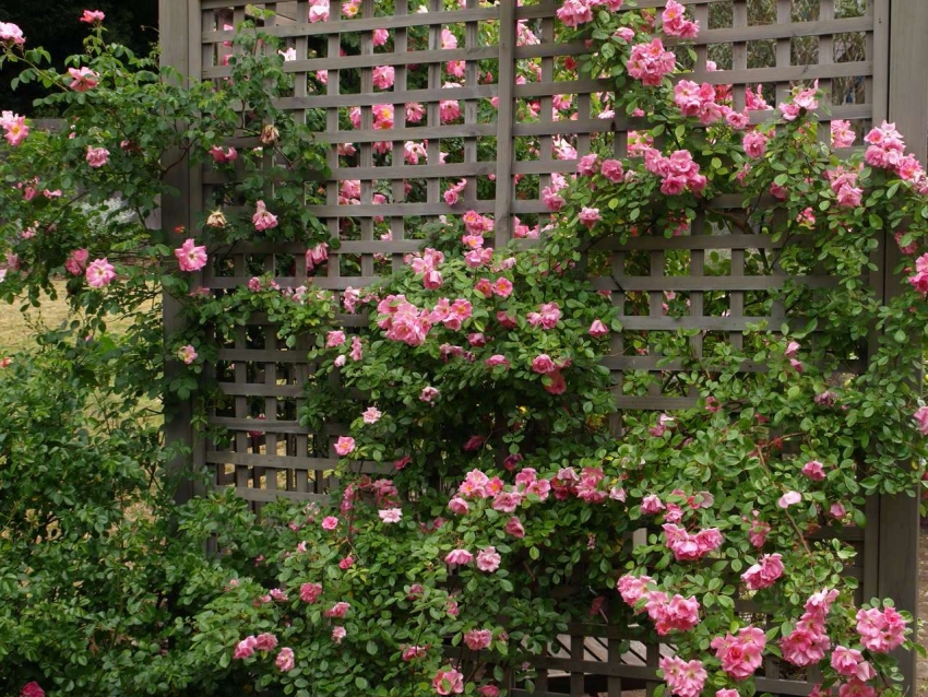 A climbing rose grows with a dense carpet of leaves and inflorescences