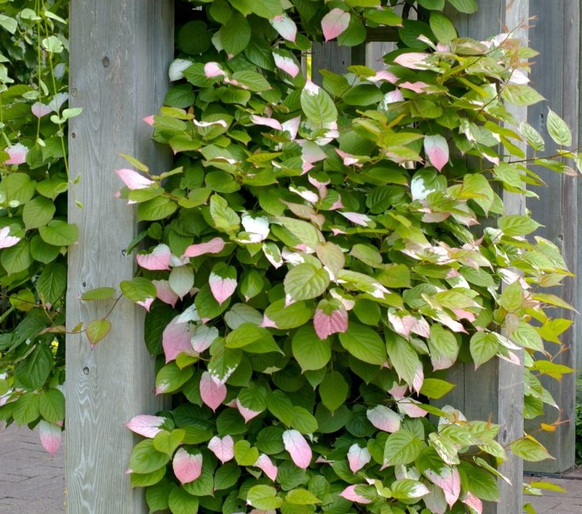 Actinidia can be used to decorate a fence or pergola