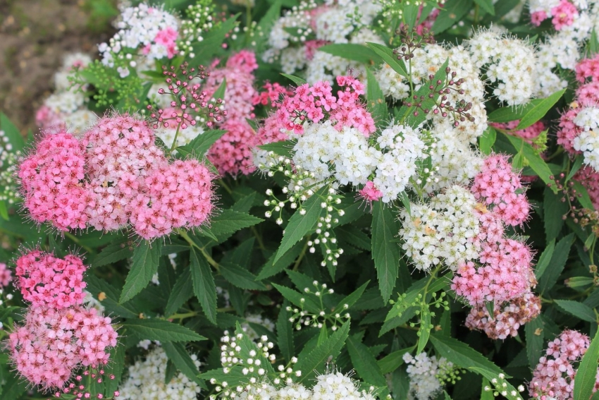 Spiraea is ideal for the decoration of low fences on the site