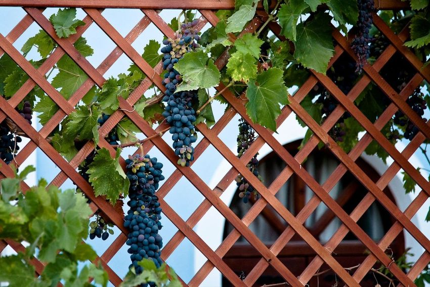 A frequent decoration of the garden fences is the grapes