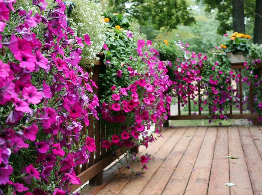 В период цветения растения создают густую живую изгородь