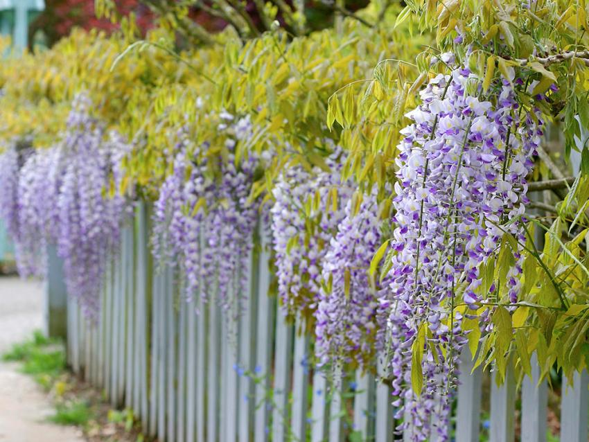 Gentle wisteria inflorescences effectively decorate the villa area