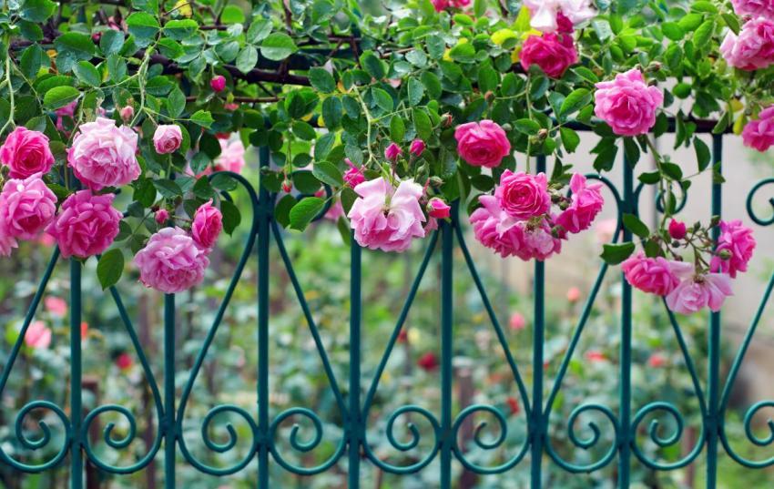 Вьющаяся роза удачно подчеркивает кованое ограждение