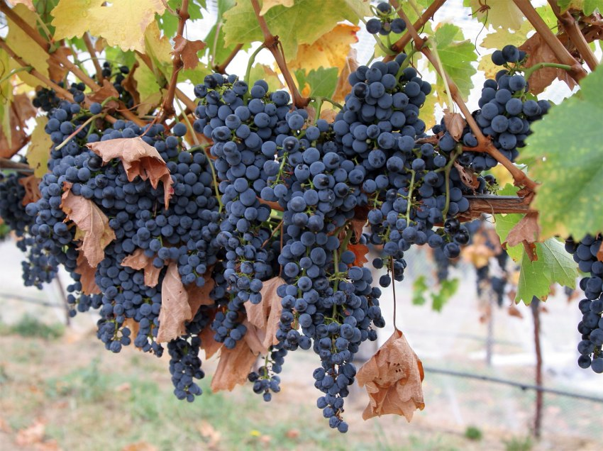 Grapes Amur breakthrough will not only beautify the site, but also bring delicious fruits