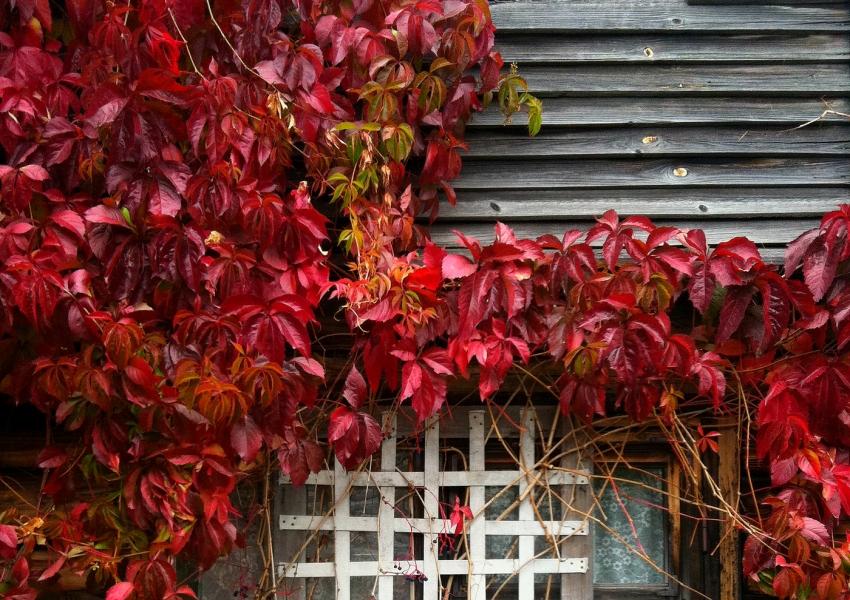 Листья девичьего винограда имеют яркий красный окрас