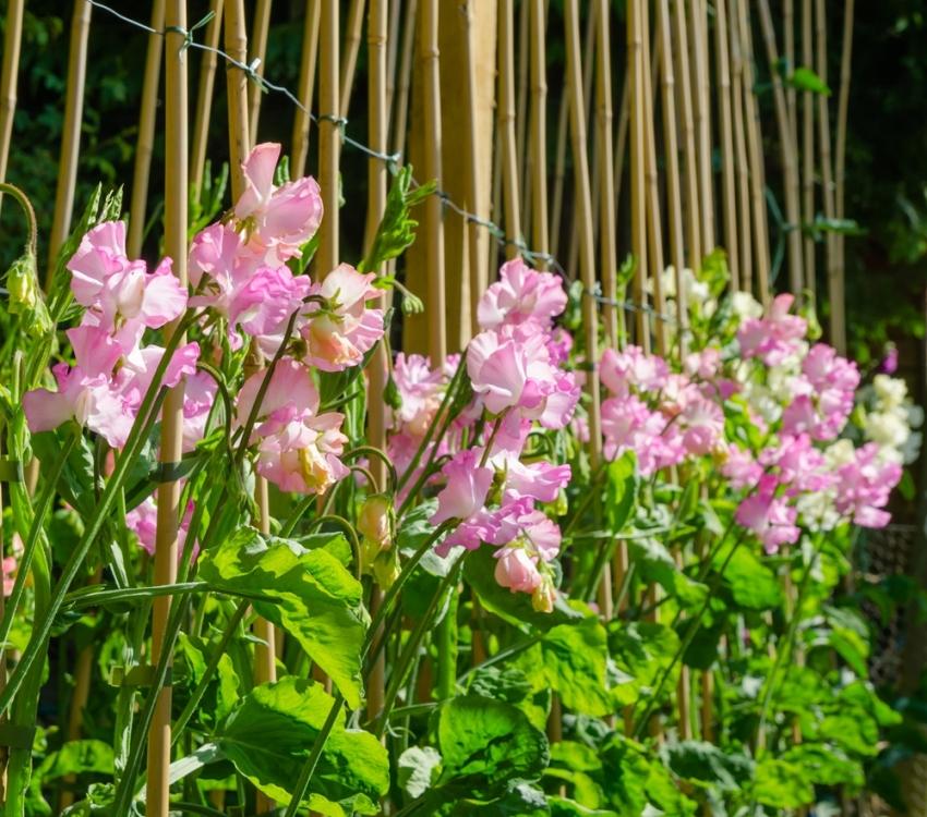 Душистый горошек цветет великолепными красивыми цветками