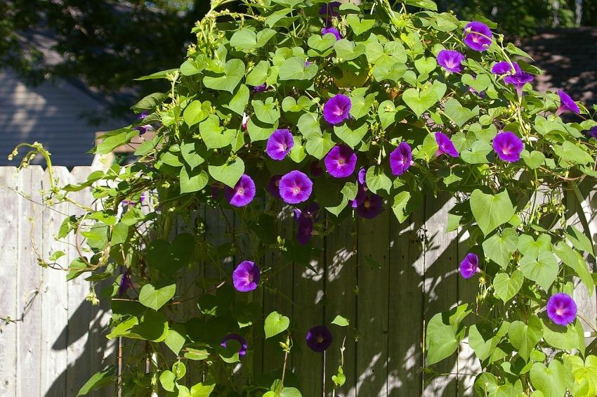 Ипомея пурпурная имеет яркие красивые соцветния