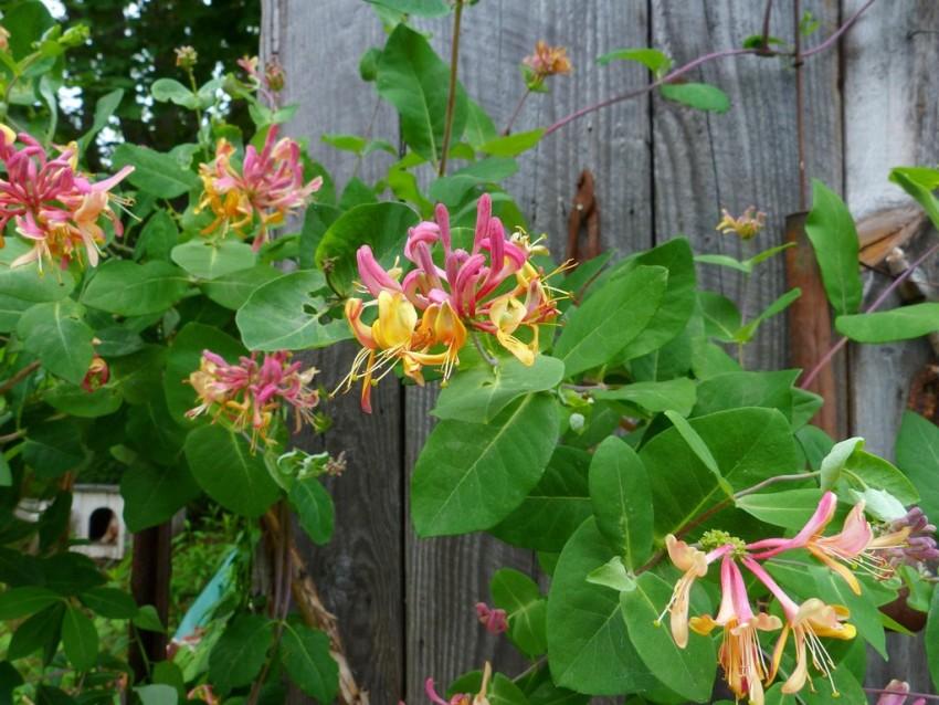 Цветы вьющейся жимолости источают приятный аромат