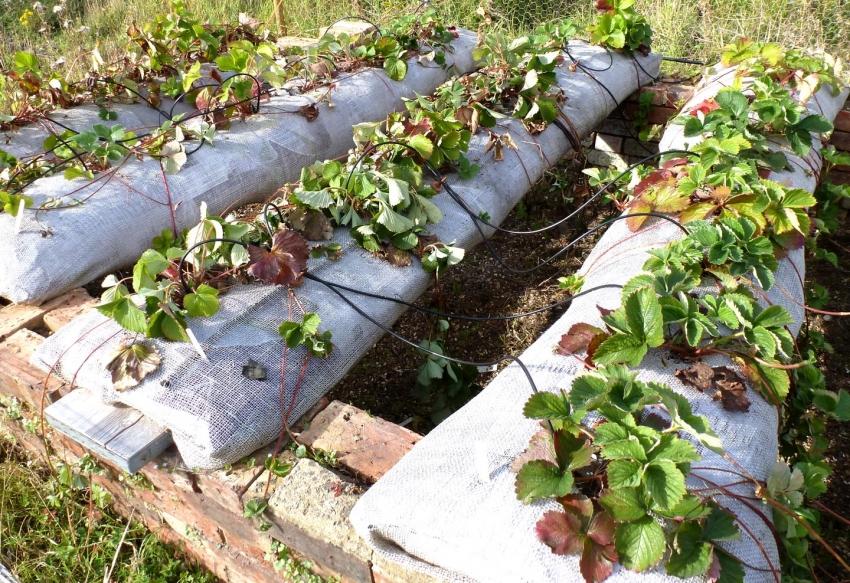 Пример использования технологии выращивания клубники в мешках, которая позволяет собирать ягоды чистыми - без песка и земли