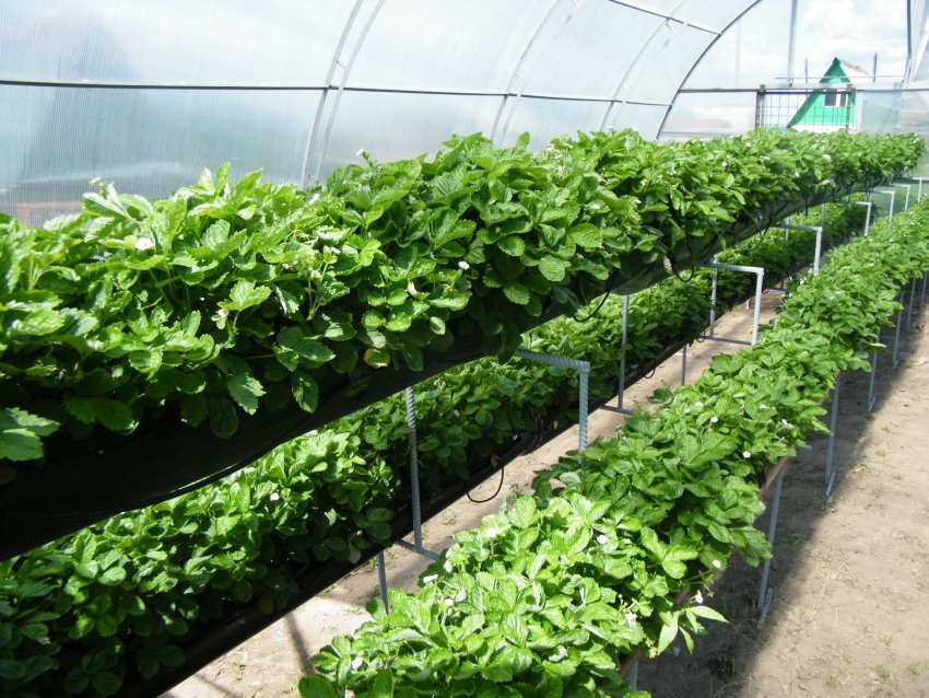 В узкой теплице растения можно выращивать на разных уровнях, что экономит пространство