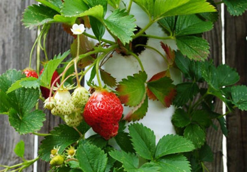 Для экономии пространства можно выращивать клубнику в вертикальных трубах по периметру забора