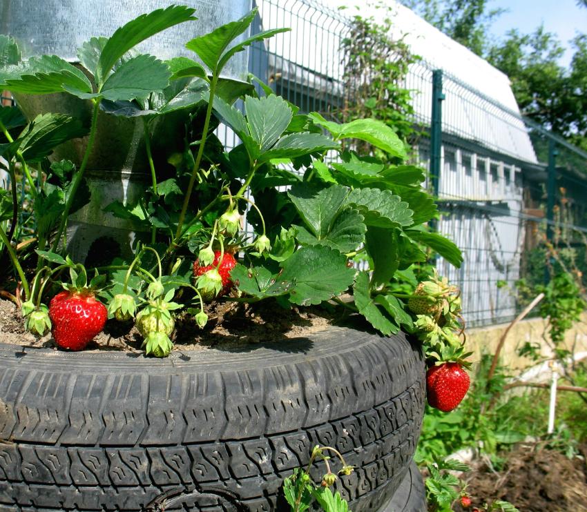 Одним из популярных способов выращивания клубники среди садоводов является использование старых автомобильных шин