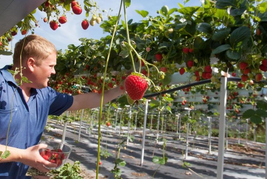 Из труб ПВХ можно соорудить удобную конструкцию для выращивания и сбора клубники