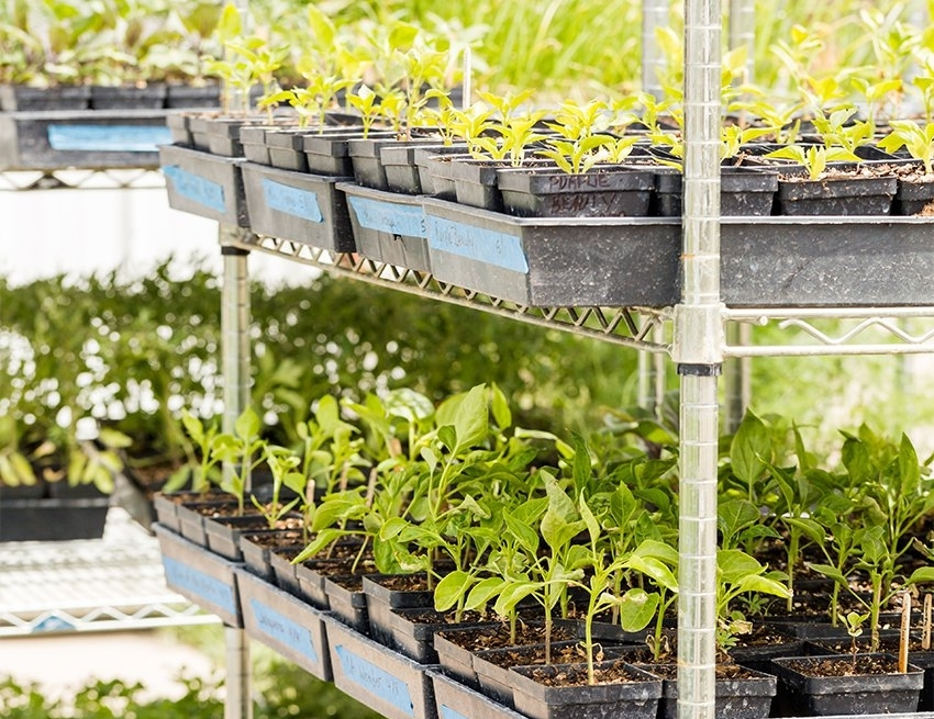 Для выращивания рассады в теплице очень удобно использовать стеллажи с выдвижными полками