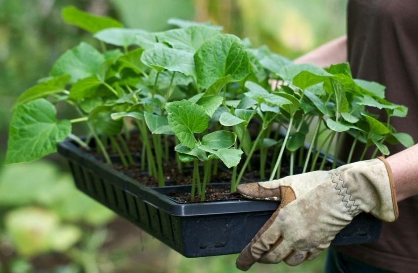 Правильная подготовка растений и грунта к высадке обеспечит высокий урожай