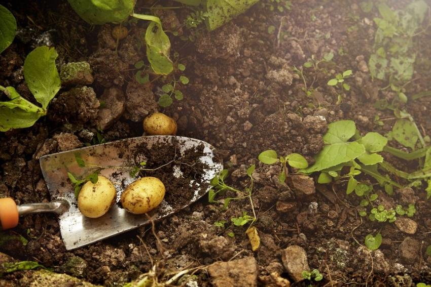 Урожай, выращенный по экологическим методикам, обычно ниже, чем при традиционных, но качество овощных культур при этом превосходит в несколько раз
