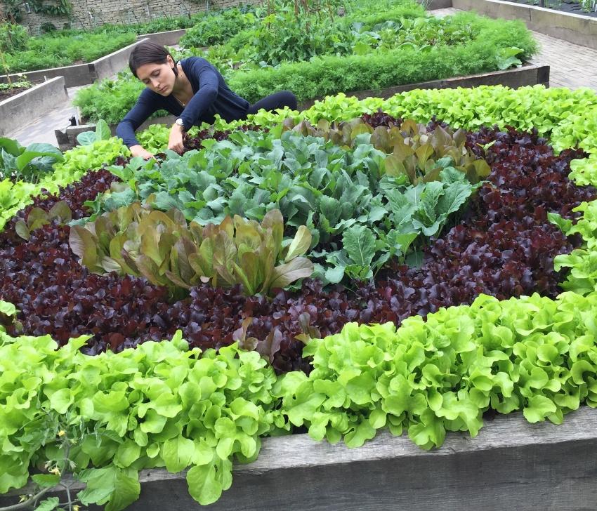 Пример красивой грядки, выращенной с использованием разных сортов салата