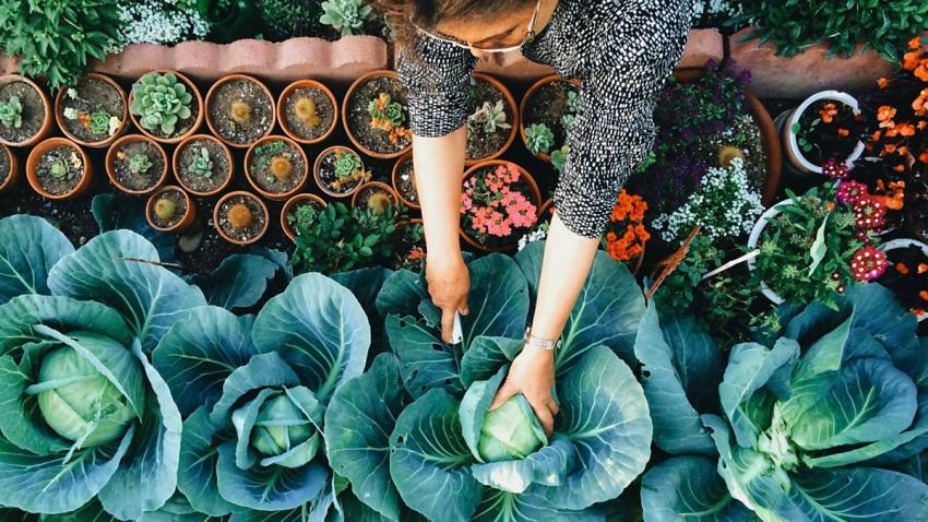 Белокочанную капусту можно высаживать по краям грядок или цветников для красивого обрамления