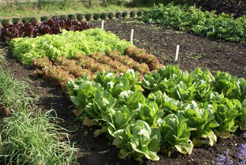 Высадив растения правильно, можно избежать разрастания сорняков на грядки и тропинки