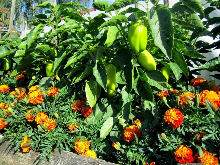 Высадив бархатцы возле грядок, можно избежать некоторых вредителей на огороде