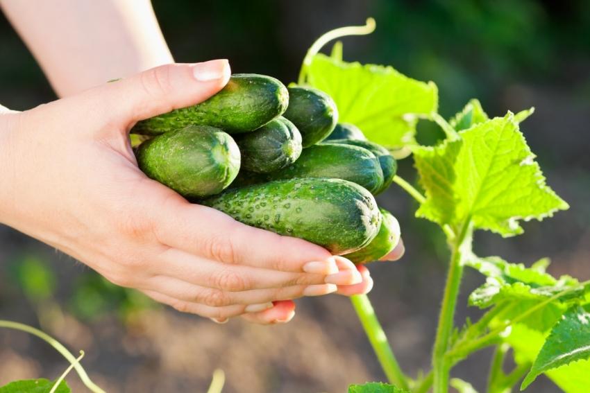 Чтобы получить богатый урожай огурцов, почву для грядок необходимо подготовить с осени