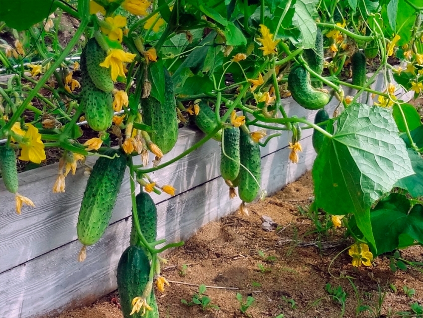 По мнению Игоря Лядова, стабильный и высокий урожай огурцов можно получить только с помощью органических удобрений