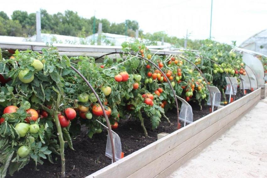 Большинство огородников отмечают высокую эффективность обустройства грядок по методике Игоря Лядова