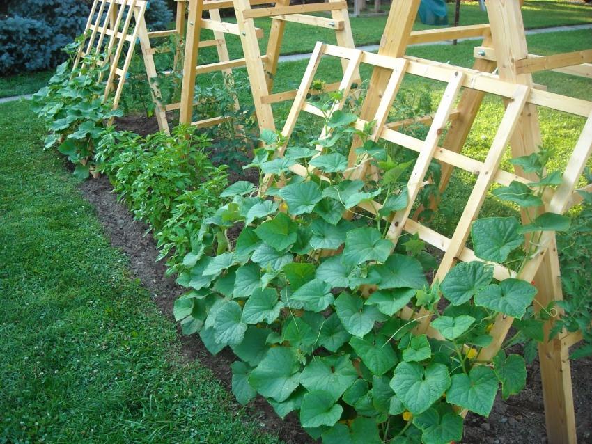 Высокая деревянная конструкция считается наиболее удобным вариантом выращивания огурцов