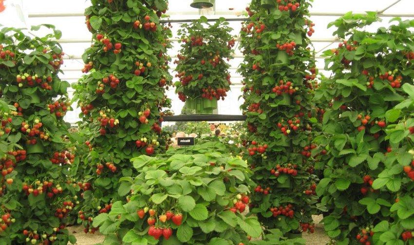 Чтоб плоды были крупными нужно разредить клубнику, оставляя до 40 сантиметров между рядами