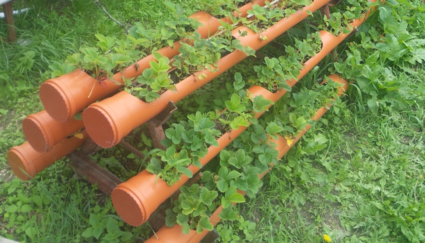 Клубнику можно выращивать в пластиковых трубах, предназначенных для обустройства канализации или дренажной системы