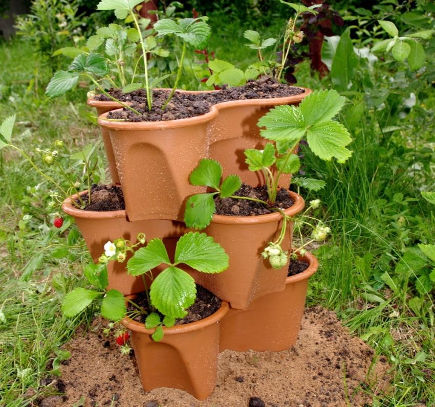 Клубнику, выращиваемую в горшках, нужно удобрять каждые две недели