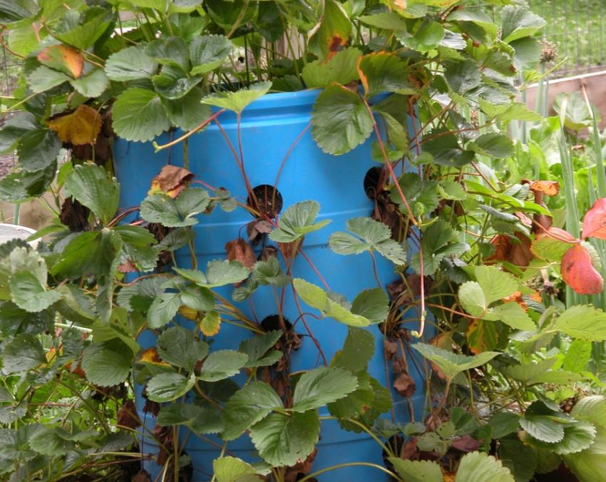 Выращиваие клубники в бочке по методу вертикальных грядок