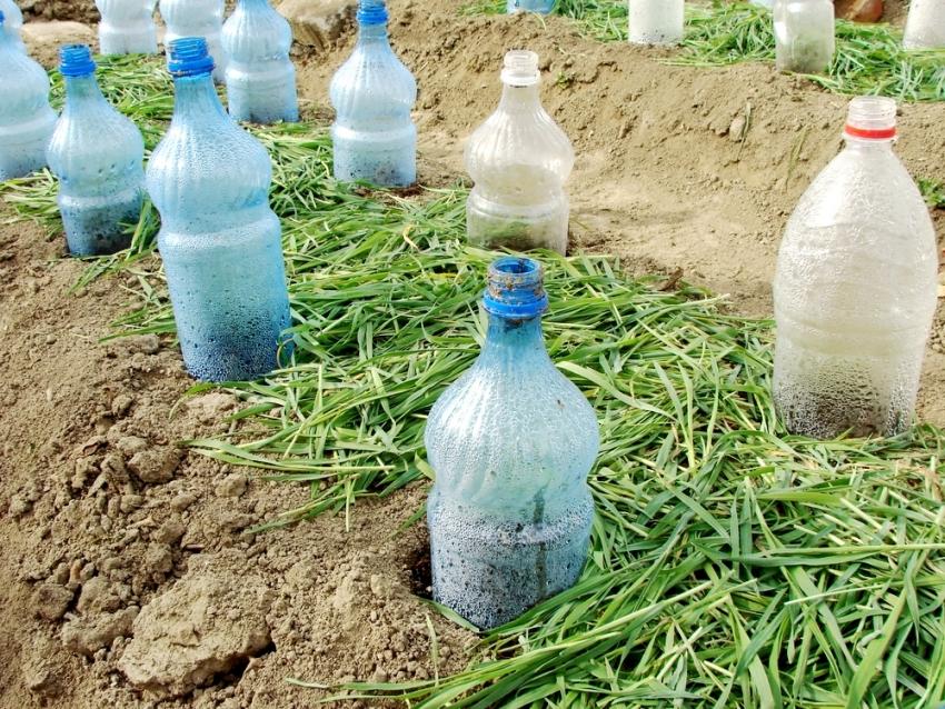 Использование пластикатовых бутылок считается самым экономным вариантом укрытия молодых растений