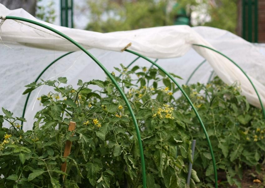 Высота дуг в парнике для помидоров должна быть выше взрослых растений во избежание контакта укрывного материала с плодами и листьями