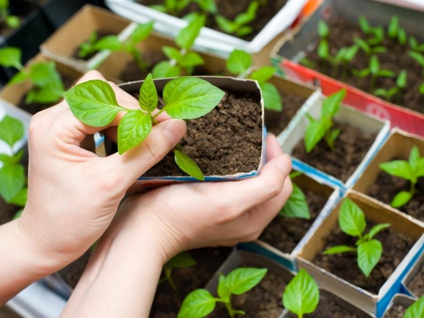 В большинстве случаев, мини парники используют для взращивания рассады овощных культур