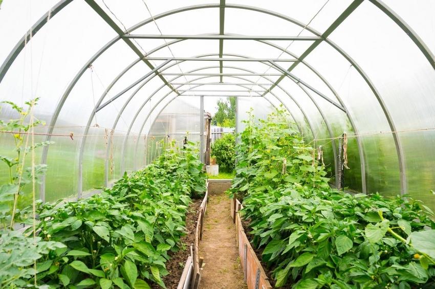 В парниках можно выращивать большое количество разных растений, но стоит учитывать совмещаются ли они между собой