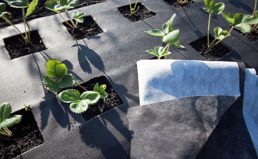 Для мульчирования – сохранение влаги в почве, сокращение поливов, защита от сорняков и заболеваний используют укрывной материал лутрасил