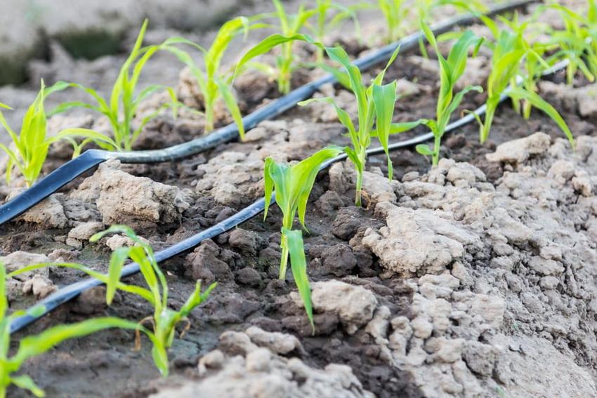 Капельный полив действует точечно на место посадки растения, оставляя сухой остальную часть грядки, поэтому риск переувлажнения исключен