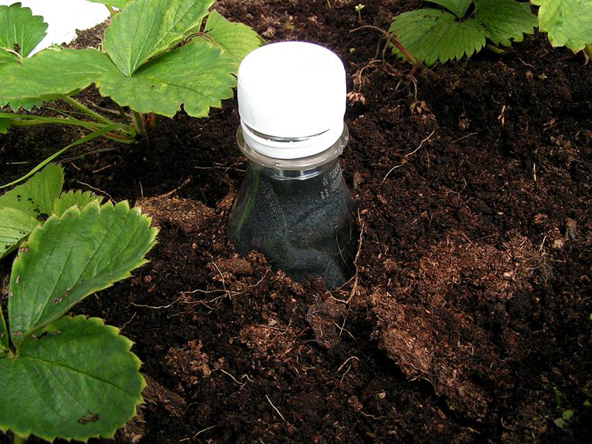 Самый популярный вариант орошения из пластиковой бутылки – это вкапывание тары между растениями