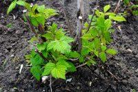 Садить малину можно весной и осенью, грунт должен быть нейтральным или слабокислым
