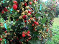 Малину можно выращивать отдельными кустарниками или подвязывать к шпалере