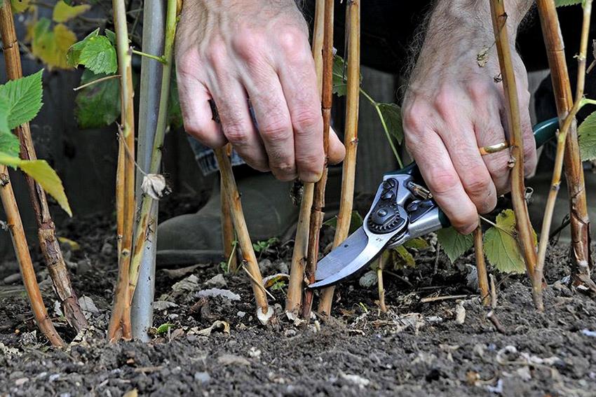 Стебли малины необходимо укорачивать ежегодно после сбора урожая ягод или весной