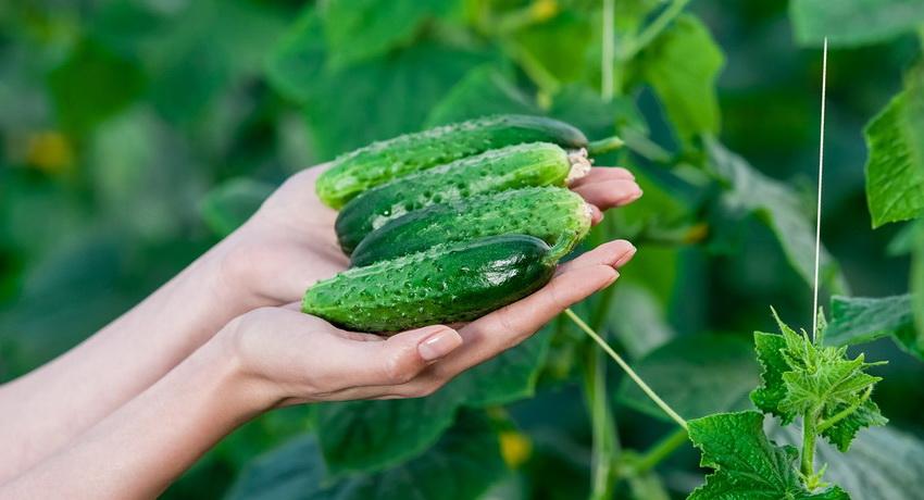 Плоды, выращенные на шпалере, всегда имеют более красивую форму и ровный окрас
