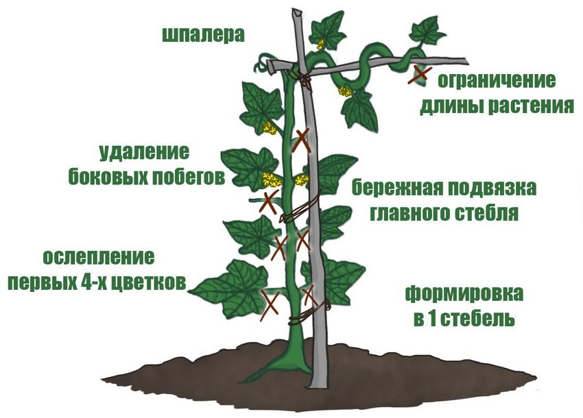 Схема подвязки и формирования стебля у огурца