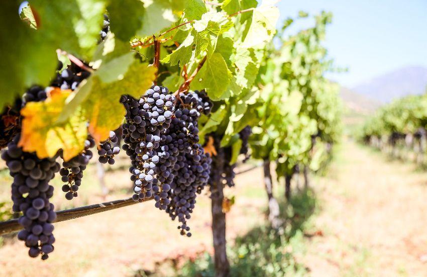 Самой простой является одноплоскостная вертикальная шпалера , на которой весь прирост виноградного куста располагается в одной плоскости