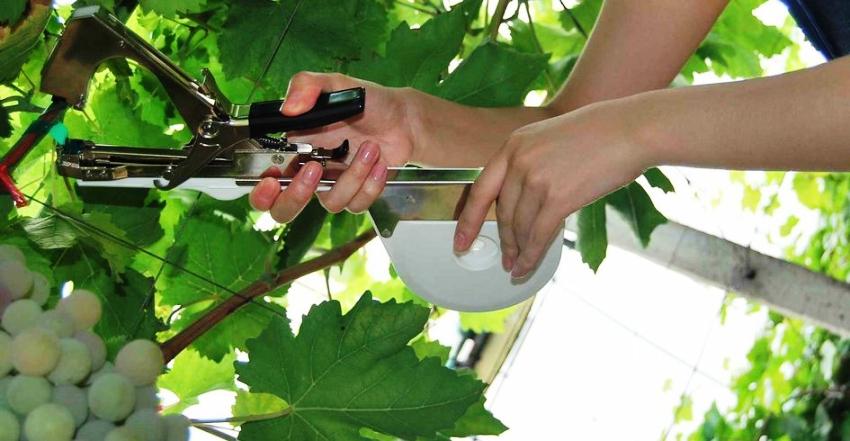 Проволоку нужно натягивать на виноградные опоры приблизительно через 40 см