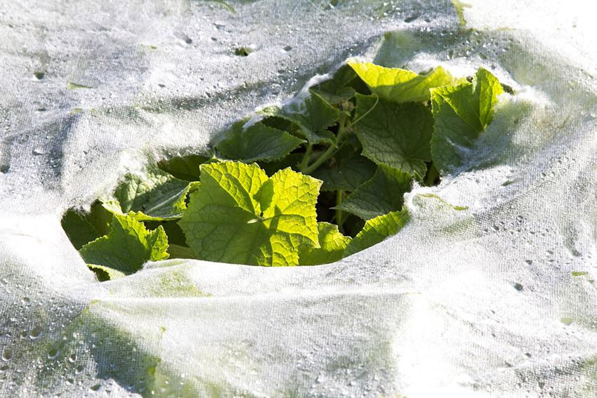 Белый спанбонд позволяет поливать рассаду огурцов сверху, а также он пропускает солнечные лучи