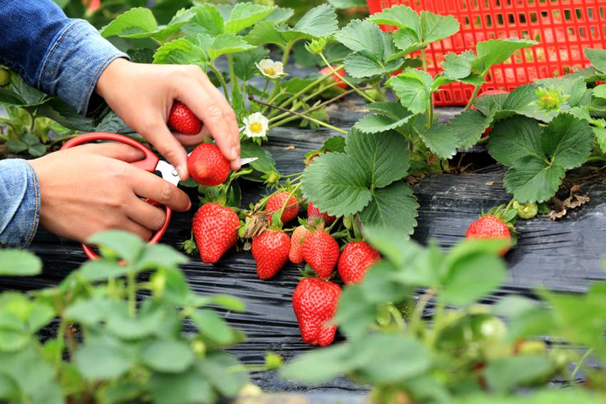 Укрывной материал позволяет уменьшить трудозатраты огородников во время выращивания клубники