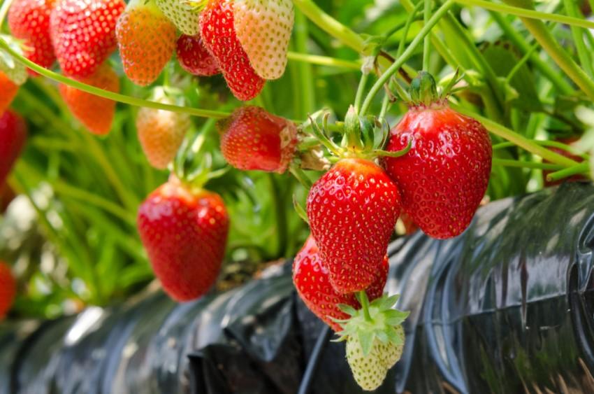 Агроспан: самы долговечный материал, увеличивающий урожайность на 20%