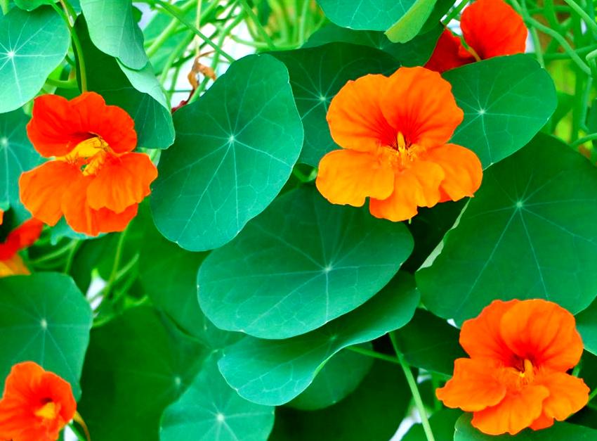 Цветоводам стоит понимать, что выращенная из собственных семян гибридная настурция не унаследует материнские характеристики